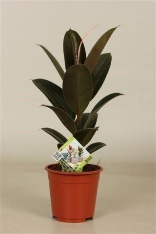 Rubber Plant Ficus elastica Melany in a 8.5cm pot.  Rarely offered