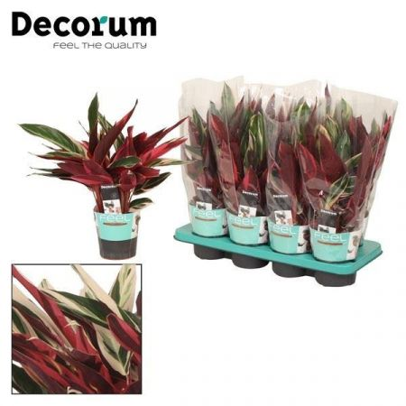 Stromanthe sanguinea Triostar house plant. 40cm tall with colourful leaves.