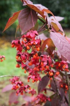 Euonymus planipes Sancho. Flat stalked spindle shrub in a 7 litre pot
