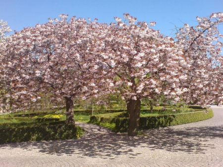 Prunus Fugenzo japanese flowering cherry tree in a 12 Litre Pot