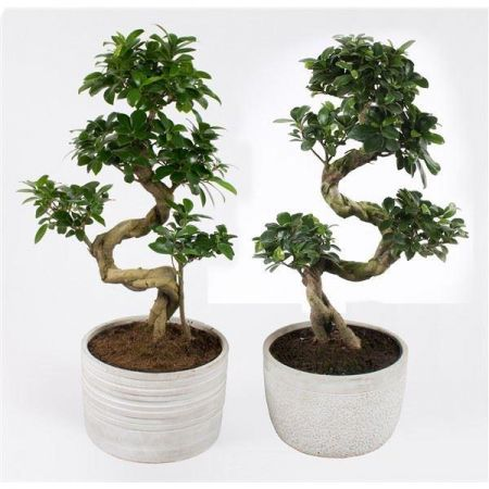 Ficus ginseng S shape bonsai house plant in a 23cm stone pot. 60cm tall.