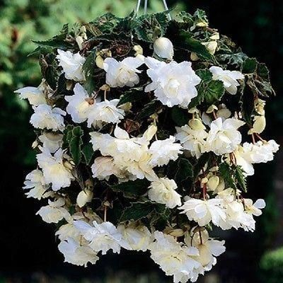 Begonia white Giant Pendula Bulbs / corms x 3.  A favourite for hanging baskets
