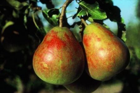 Pear (Pyrus) Onward tree in a 12 Litre pot - Bush form - Rootstock Quince A