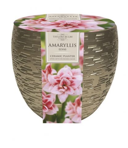 Amaryllis Elvas Bulb & Metallic Effect Planter Gift Set