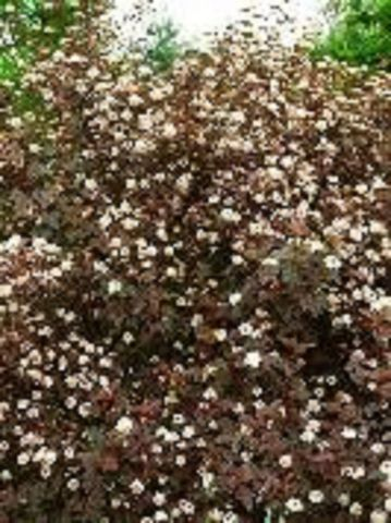 Physocarpus 'Diablo' Shrub In a 12 Litre Pot