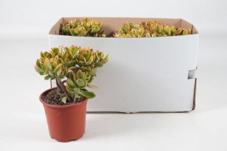Money plant. Crassula ovata Hummels Sunset house plant in 17cm pot.  Jade tree succulent.