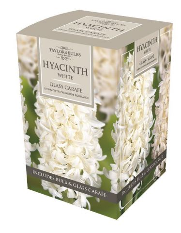 Hyacinth Planting Gift Kit with Bulb and Glass Carafe. Gift Boxed. White