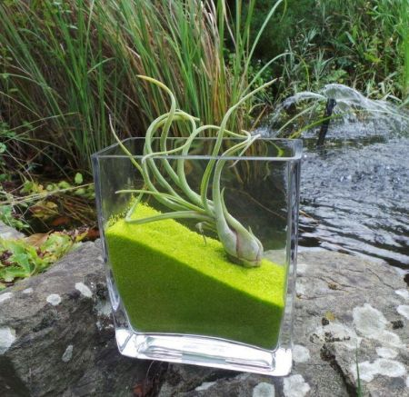 Air plant in kit in LARGE glass rectangular cube with 500g GREEN sand.