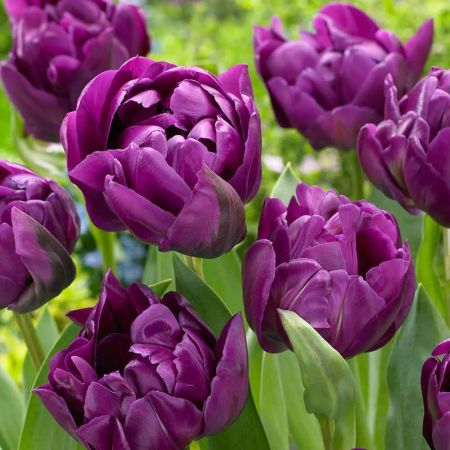 Tulip Negrita Double bulbs x 6 NEW DOUBLE flowered variety