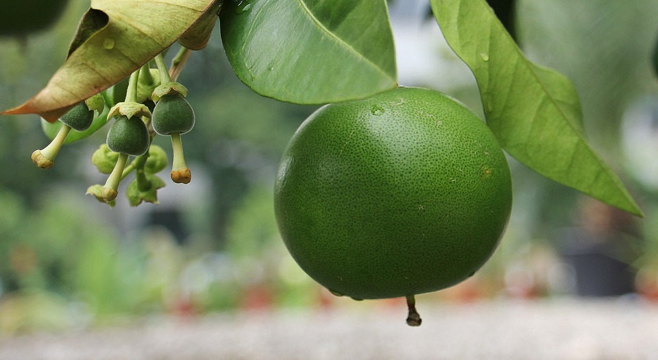 Grapefruit can grow on even a houseplant-sized plant