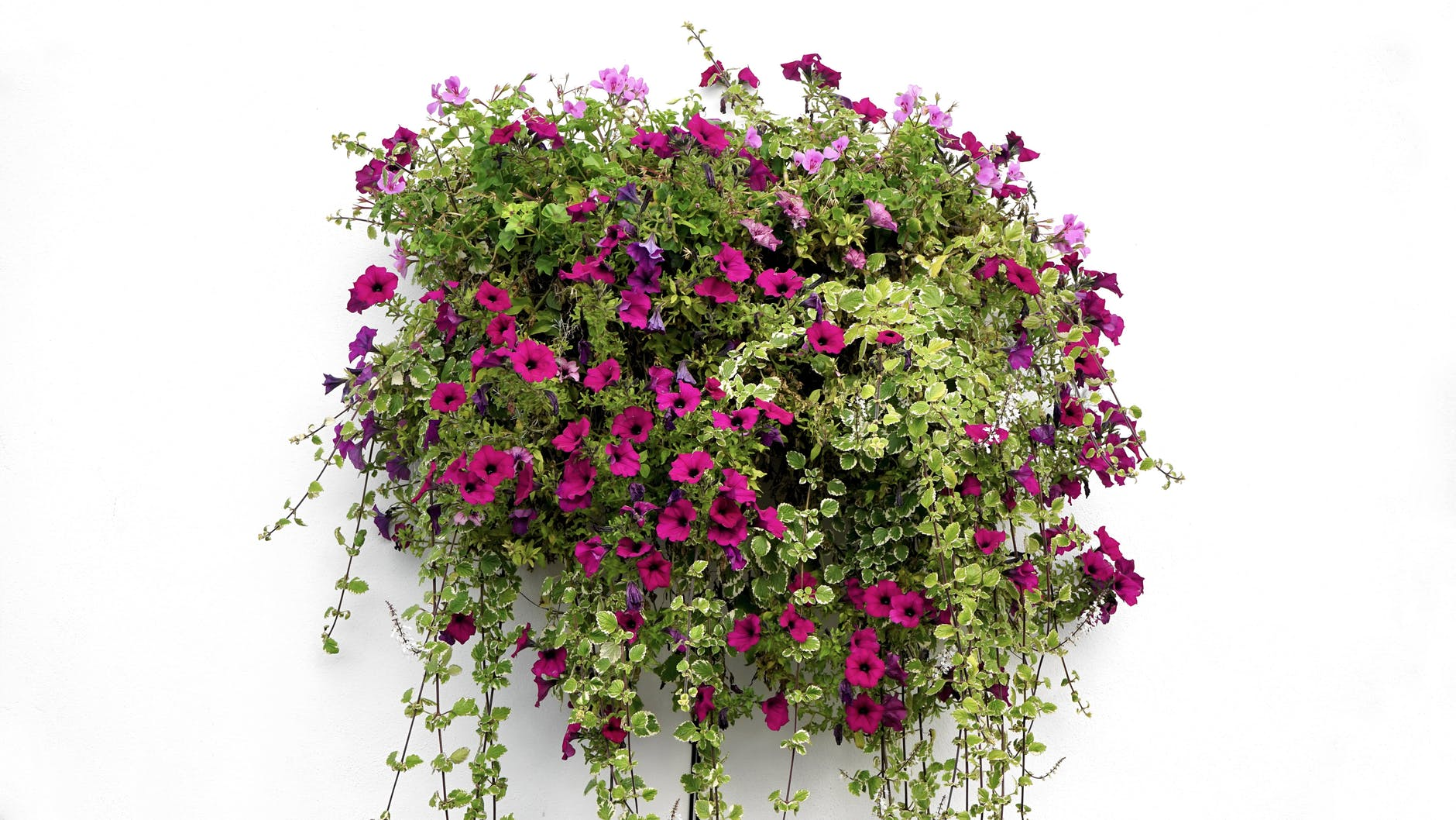 Create a stunning hanging basket arrangement in April by following these simple tips