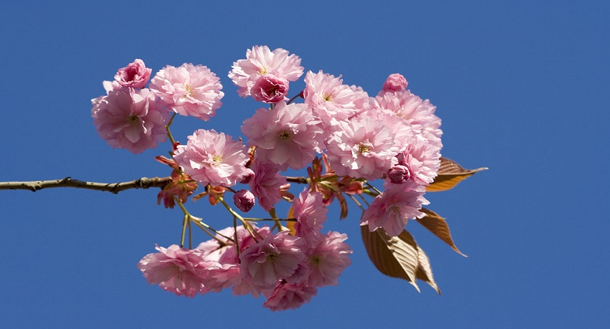 Ornamental Flowering Cherry Trees For Spring Blossom Buy Trees Shrubs Perennials Annuals House Plants Statues And Furniture