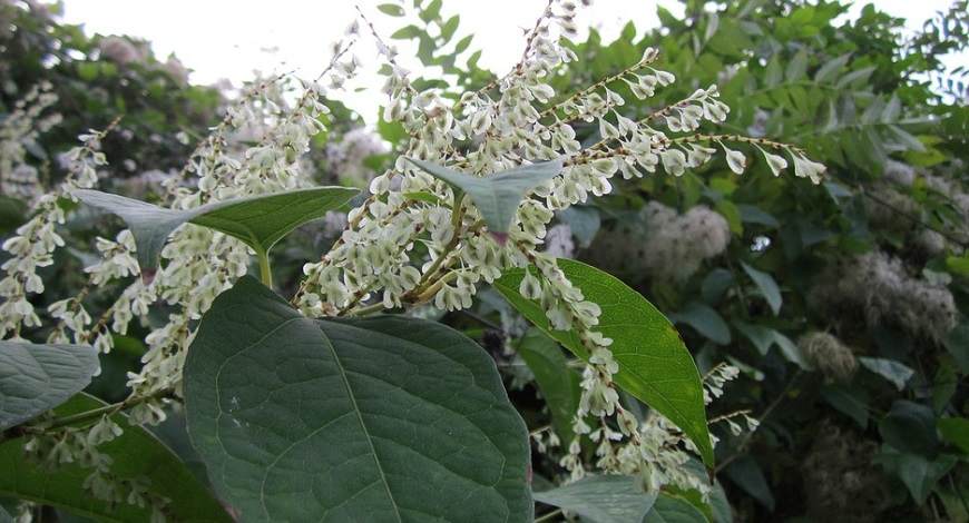 Japanese Knotweed: is it as bad as you think? How to deal with this pernicious weed.