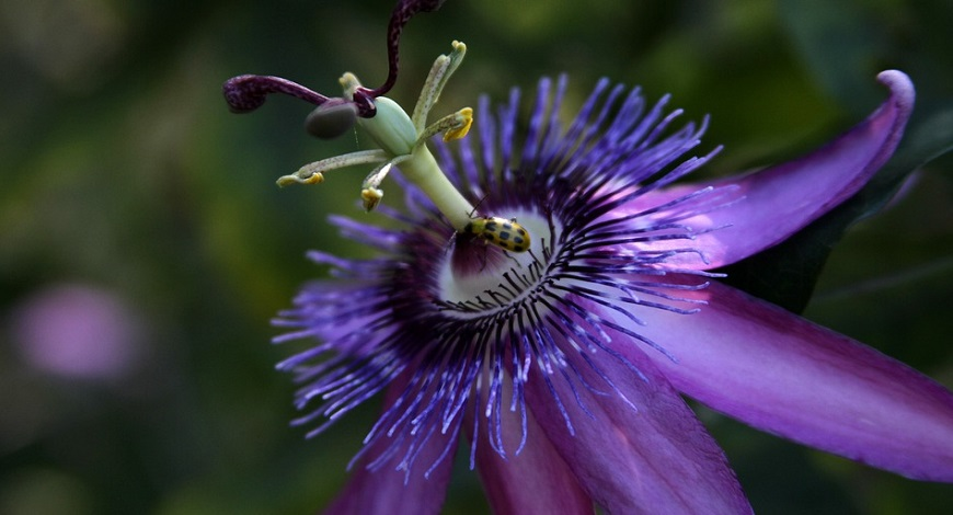 All about passionflowers. Did you know the foliage hides a secret?