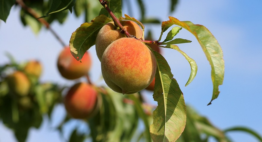 Peaches, nectarines and apricots: can you grow these exotic fruits in the UK?