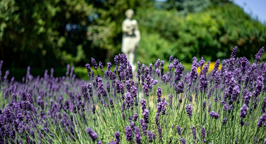 What is lavender? 6 reasons to love this aromatic subshrub