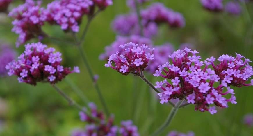 Pick of the best flowering perennials and shrubs for spring and early summer