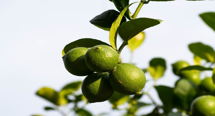 Oranges, lemons, limes, can you grow citrus fruits in the UK?