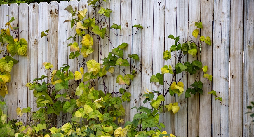 Climbing plants for Walls and Fences