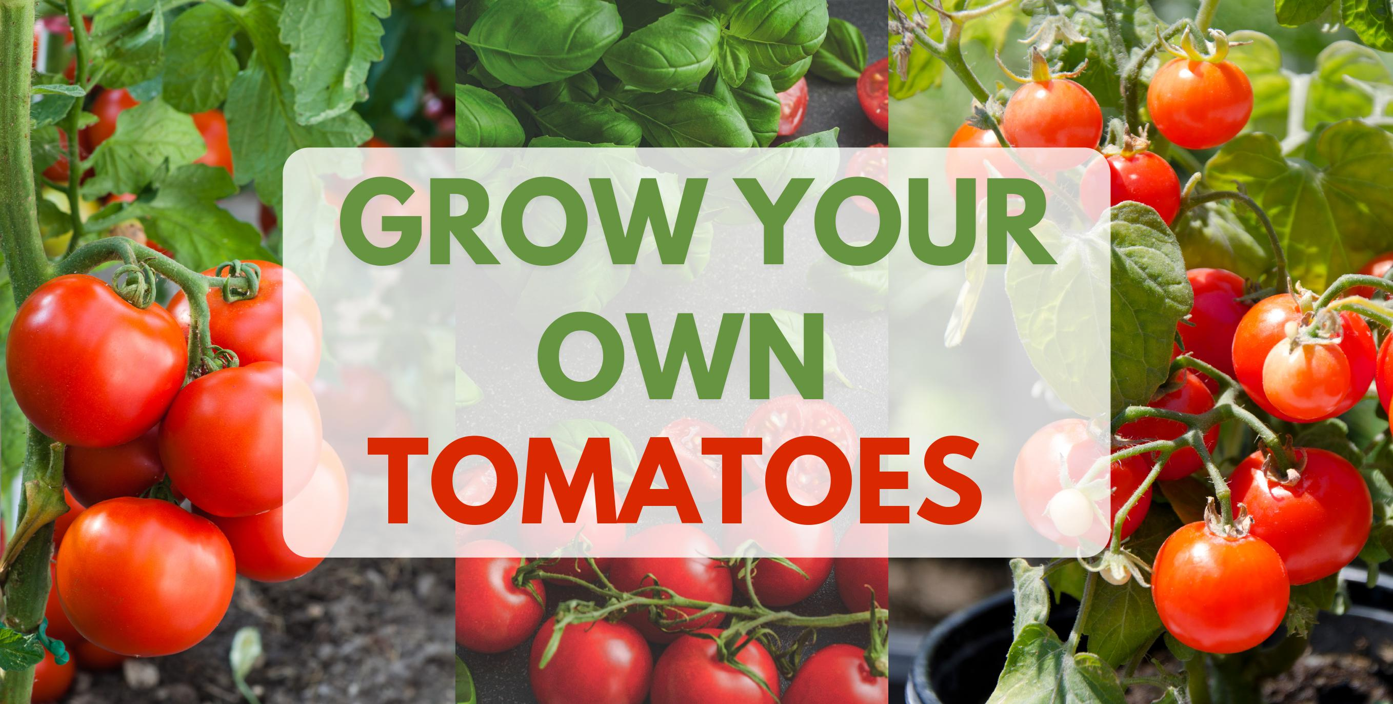 Grow your own tomatoes, 3 bright images of tomatoes - grow your own link