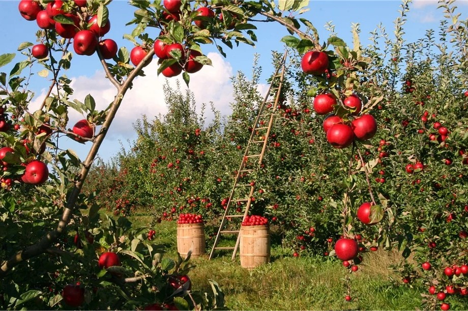 Apple orchards in the fertile Garden of England
