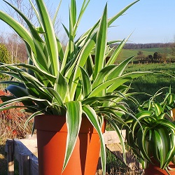 Chlorophytum are able to clean impurities from the indoor air
