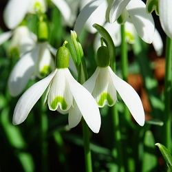 Snowdrops winter flowering bulbs