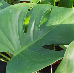 The leaf of a huge Swiss cheese plant Monstera