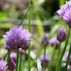 Chives growing in a kitchen garden or allotment