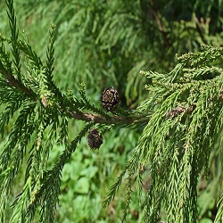 Leylandii conifer hedge dispute with neighbours