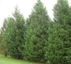 conifers can grow very tall