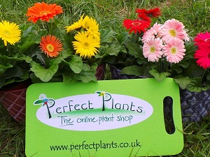 Perfect Plants kneeler with gerberas