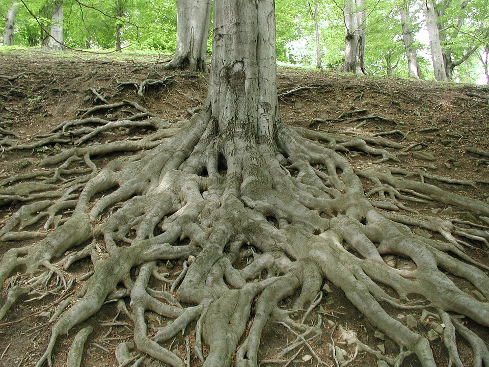 Tree roots have an association with mycorrhizal fungi