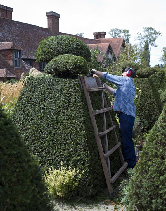 Trimming a yew hedge topiary