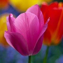 Tulips are spring flowering bulbs