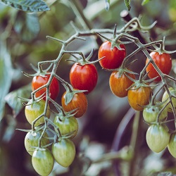Growing tomatoes, grow your own