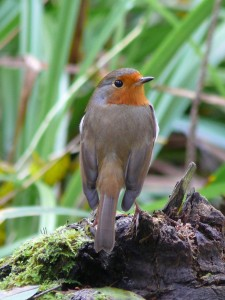 Photo of Robin (1)