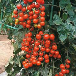 how to add calcium to soil for tomatoes