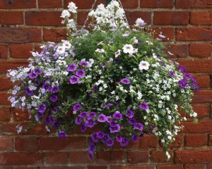 Hanging Basket with Petunias and Bacopa