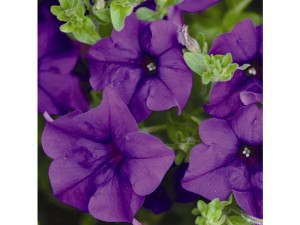 Trailing petunia Surinia purple