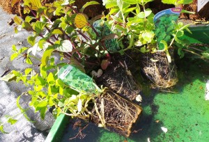 3 - soak your herb roots before plantingSMALL