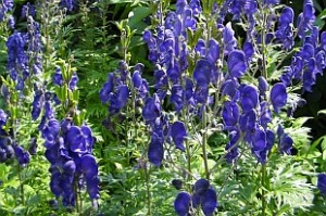 Aconitum-napellus-monkshood poison in the garden
