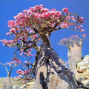 Desert rose has a poison which is powerful