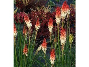 Kniphofia flowers in spring and summer