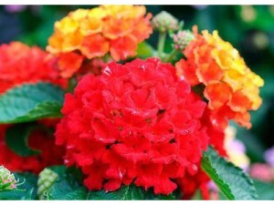 Lantana flowers all summer and is drought tolerant
