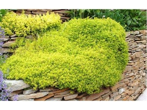 Thyme looks great all year round, not just in summer