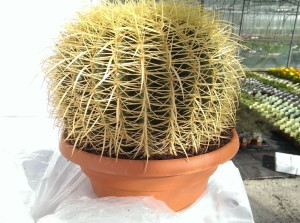 massive cactus is a summer heat-lover