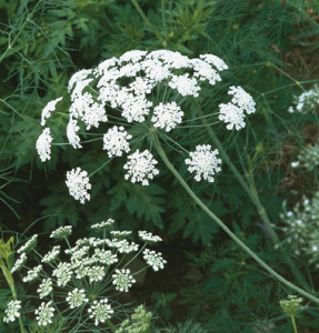 Ammi majus is a popular perennial plant although slightly poisonous