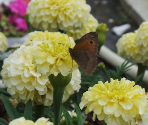 Butterfly Gatekeeper or Meadow Brown on Marigolds small