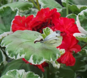 Butterfly Green Vein White on geranium flowers